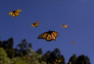 © Josh Stephenson, Monarch butterflies